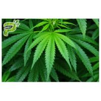 Wholesale Cannabis sativa Hemp Source for Neuroprotective effects CBD Cannabidiol 99% CAS No. 13956 29 1 from china suppliers