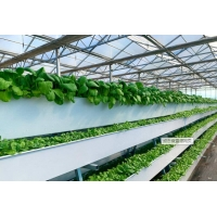 Wholesale Tomato Plant  Hydroponic Good Weather Resistance Agricultural Greenhouse from china suppliers