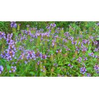 Wholesale Prunella vulgaris L from china suppliers