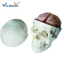China Human Skull And Brain Model With 8 Parts  VIC-104E  For  School Bilological Class for sale