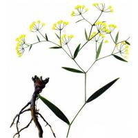 Bupleurum chinense DC. dried root for sale