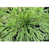 Selaginella lamariscina Spring .dried whole parts for sale
