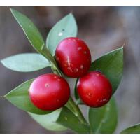 Wholesale Butchers Broom Extract, Butchers Broom Extract powder,10%-20% Ruscogenin from china suppliers