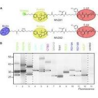 China Staphylococcus Aureus v8 Protease  Glutamic Acid Proteases for Analyzing Protein Sequencing for sale