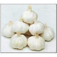 Wholesale Pure White Garlic from china suppliers
