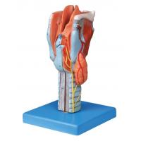 Wholesale Life size sectioned larynx  Human anatomy Model for colleague training from china suppliers
