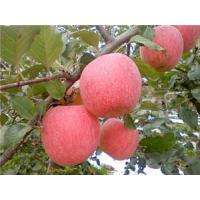 Wholesale organicfujiapple from china suppliers