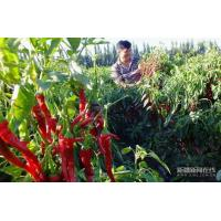Wholesale Chillis Dried Red Hot Chilli from china suppliers
