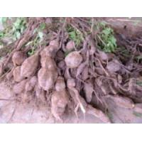 China Mucuna Pruriens Extract 99% L-Dopa Essential Oil on sale