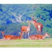 5B66 Red Deer Family, a wildlife scene of a family at rest. (for 6 cards)