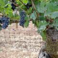 Wholesale Grape Tree Bird Netting from china suppliers