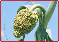 Buy cheap Green Millet from wholesalers