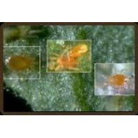Wholesale The Pest: Spider Mites from china suppliers