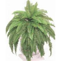 Wholesale 2 BOSTON FERN 4
