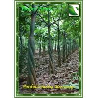 Wholesale Pachira Macrocarpa from china suppliers